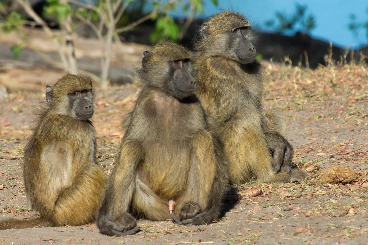 Chacma baboon - photo#15