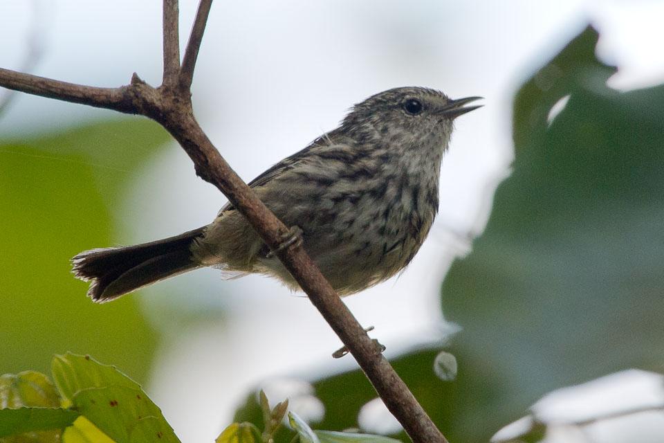 Jamaica Birding Report 2014