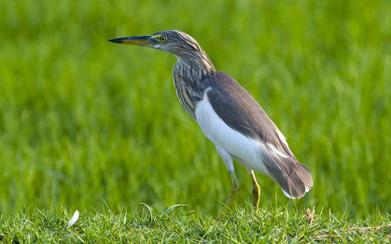 Animals world nature animals of pond heron cranes gallery for Pond animals